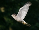 <b>Northern Goshawk <i>(Accipiter gentilis)</i></b>