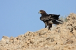 Juvenile Greater Spotted Eagle.