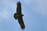 <b>Greater Spotted Eagle <i>(Clanga clanga)</i></b>