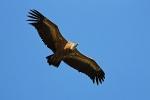 Immature Griffon Vulture