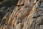 Griffon Vultures