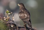 <b>European Honey Buzzard <i>(Pernis apivorus)</i></b>