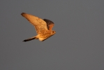 Adult female Lesser Kestrel