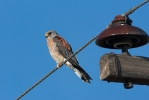 Adult male Lesser Kestrel