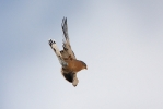 Adult male Lesser Kestrel.