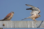 Adult male Lesser Kestrels.