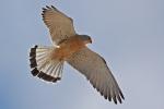 <b>Fehérkarmú vércse <i>(Falco naumanni)</i></b>