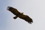 Subadult Lesser-spotted Eagle.