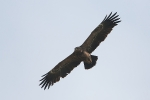 Immature Lesser Spotted Eagle