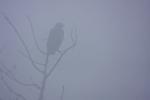 Lesser Spotted Eagle.