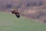 Adult Lesser Spotted Eagle.