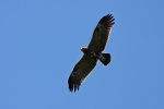 2cy Lesser Spotted Eagle.