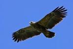 <b>Lesser Spotted Eagle <i>(Clanga pomarina)</i></b>