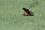 Immature (2cy)  Lesser Spotted Eagle