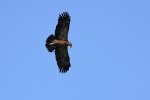 Adult Lesser Spotted Eagle