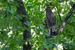 Juvenile Lesser-spotted Eagle.