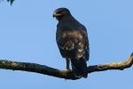 Juvenile Lesser Spotted Eagle.
