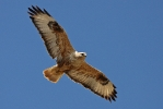 <b>Long-legged Buzzard <i>(Buteo rufinus)</i></b>