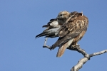 Adult Long-legged Buzzard.