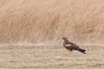 Juvenile female Montagus Harrier.