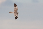 Subadult male Montagus Harrier.