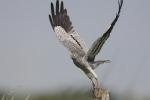 <b>Montagu&#039;s Harrier <i>(Circus pygargus)</i></b>