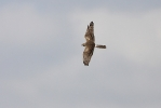 Adult female Montagu's Harrier.