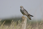 Adult male Montagu's Harrier.