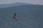 Presumed subadult Short-toed Eagle