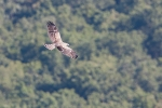 Juvenile Short-toed Eagle
