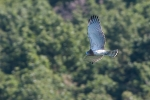 Juvenile Short-toed Eagle
