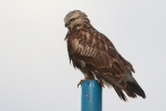 Juvenile Rough-legged Buzzard