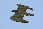 Adult Short-toed Eagle