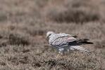 Adult male Pallid Harrier