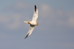 First-adult male Pallid Harrier.