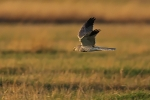 Second-adult male Pallid Harrier.