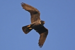 <b>Vándorsólyom <i>(Falco peregrinus)</i></b>
