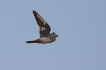 2 cy Red-footed Falcon