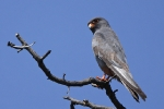 <b>Red-footed Falcon <i>(Falco vespertinus)</i></b>