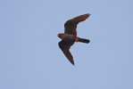 Adult male Red-footed Falcon.