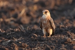 Adult female Red-footed Falcon.