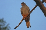 2nd cy male Red-footed Falcon.