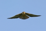 Juvenile Red-footed Falcon.