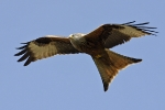 <b>Red Kite <i>(Milvus milvus)</i></b>