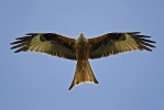 Adult Red Kite.