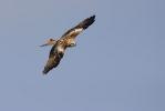 Juvenile Red Kite.