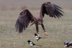 2. naptári éves gyűrűs madár
