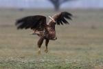 2. naptári éves madár szárnykrotáliával