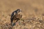 Juvenile Saker with prey