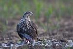 Juvenile Saker with pigeon
